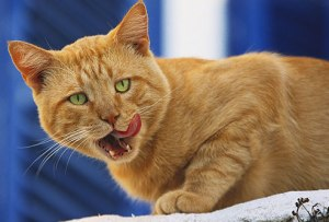 photolibrary_rm_photo_of_cat_licking_chops